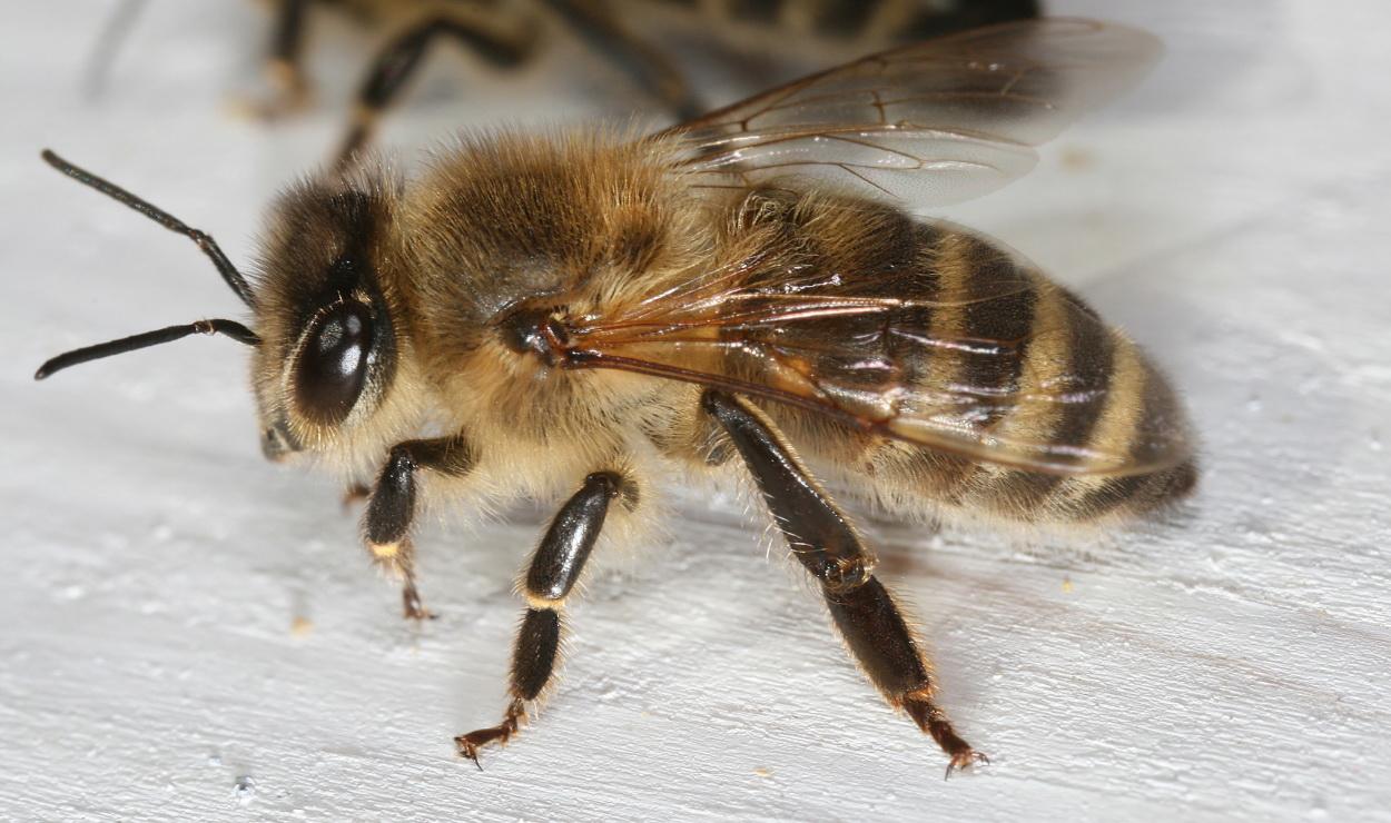 Robotnica pszczoły miodnej. Widoczne tylne odnóże z tzw. koszyczkiem, czyli płaską powierzchnią, która służy do zbierania pyłku.