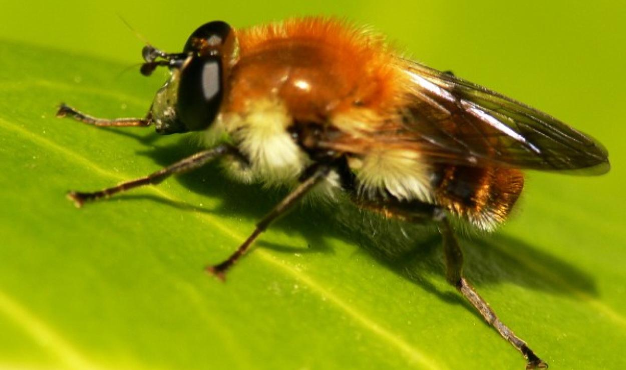 Pszczoła z rodziny smuklikowatych. Na pierwszy rzut oka można pomylić ją z małą muszką.