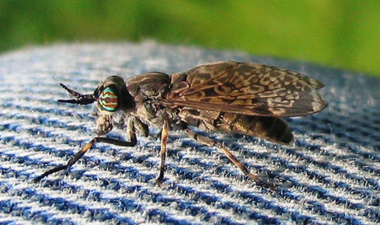 Bąkowate, ślepaki, bąki (Tabanidae) – rodzina owadów z rzędu muchówek.