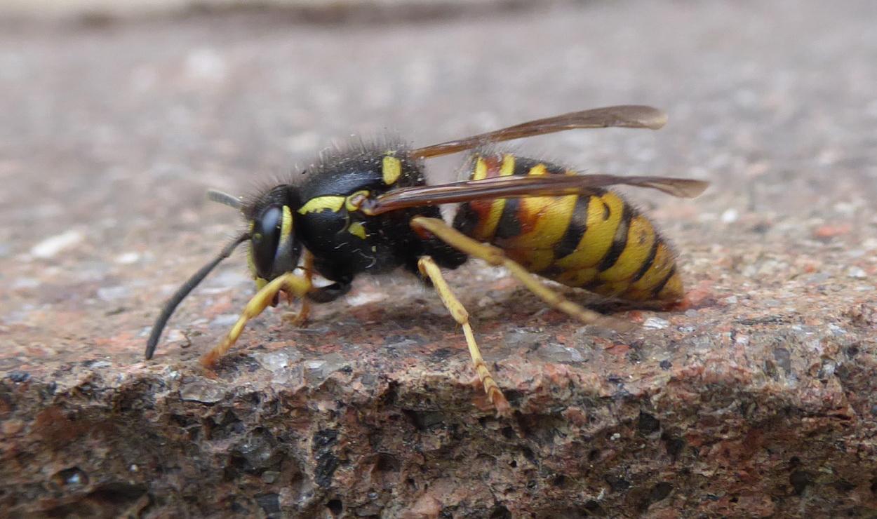 Fot. 3. Osa. Skrzydła w spoczynku sterczą po bokach ciała.