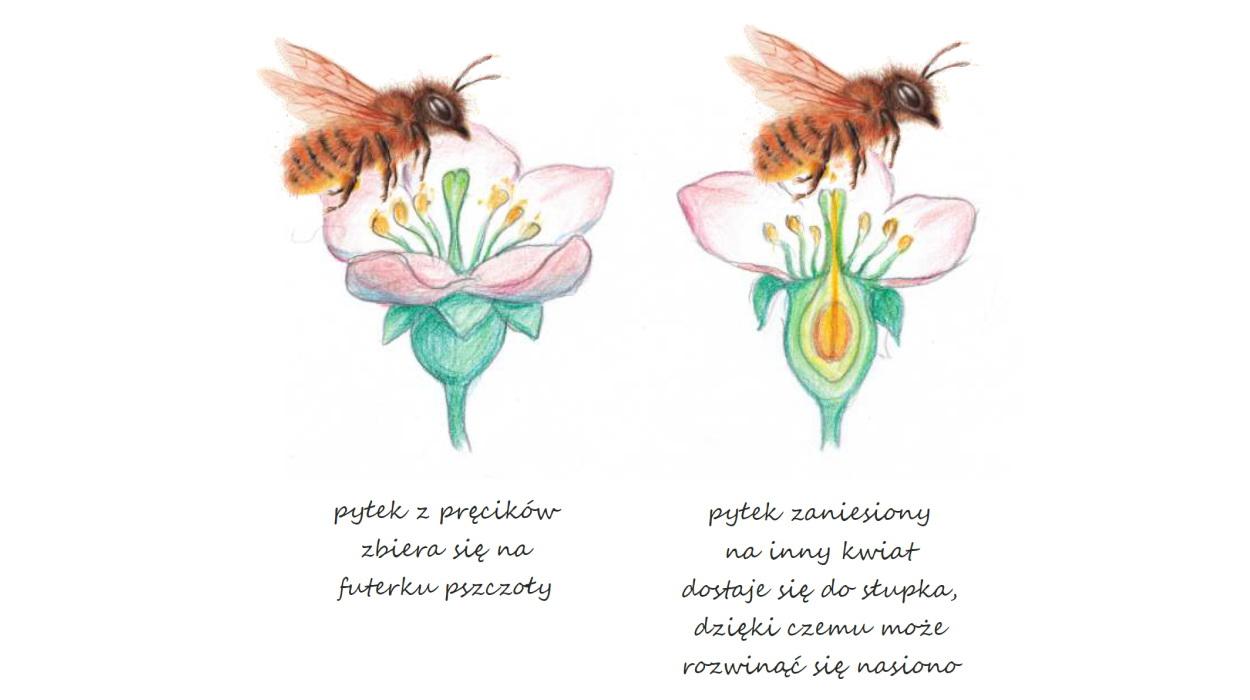 Zapylanie pszczoły