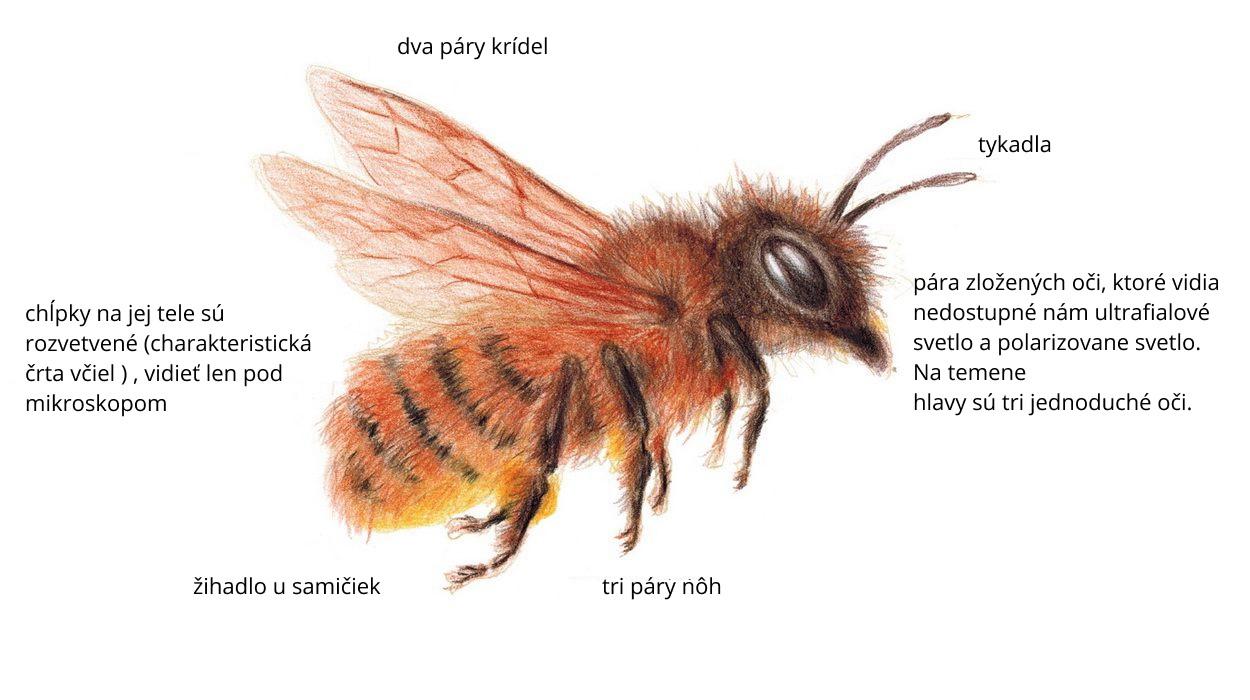 Čo sú včely?